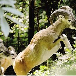 Mufloni sul Legnoncino  «Li abbattiamo» «Fermi lì»