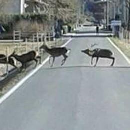 Sorico, non soltanto i cervi  Al Pian di Spagna spuntano i cinghiali
