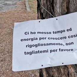 Malgrate, i pini da abbattere sul lungolago Buizza: «Uno schiaffo al paesaggio»