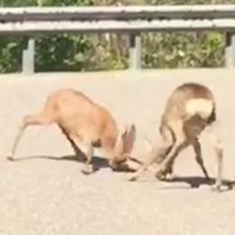 La furiosa lotta tra cerbiatti  sulle strade della Valle Intelvi   GUARDA IL VIDEO