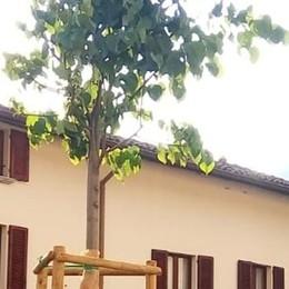 Lecco. In piazza Vittoria   piantato un faggio