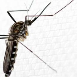 La zanzara coreana  resiste al freddo  È presente in Lombardia
